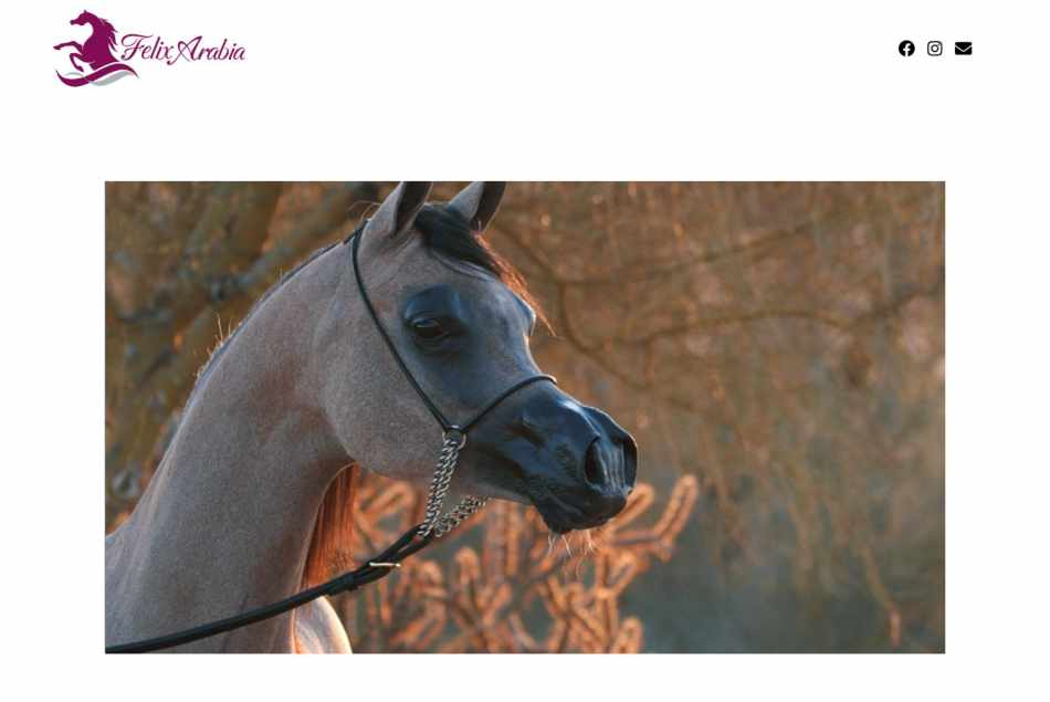 Felilx Arabia – Arabian Horses